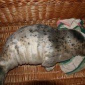 Eerste jonge grijze zeehond