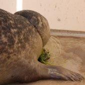 Zeehond raakt verstrikt in vislijn en haak Noordwijk