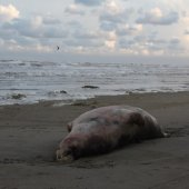 Dode grijze zeehond Noordwijk