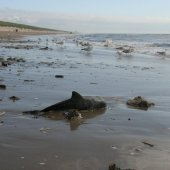 Dode bruinvis kalf Langevelderslag Noordwijk