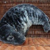 Jonge grijze zeehond Bloemendaal
