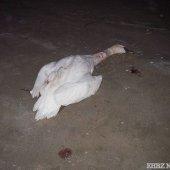 Dode zwaan Noordwijk