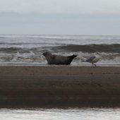 Zeehond Noordwijk