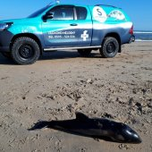 Dode bruinvis kalf Katwijk