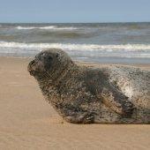 Gewone zeehond Noordwijk