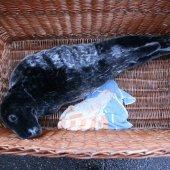 Grijze zeehond Zandvoort