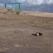 Jonge gewone zeehond Scheveningen