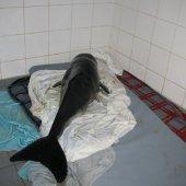 Levende bruinviskalf Zandvoort