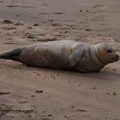 Zieke zeehond strand Katwijk