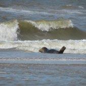 Zeehond Noordwijk/Zandvoort