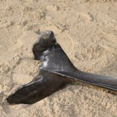 Dode bruinvis  Scheveningen - Kijkduin