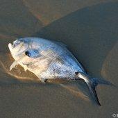 Dode braam op het strand van Noordwijk