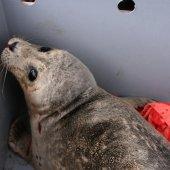 Gewone zeehond op het strand van Zandvoort