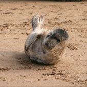 Zeehond Langevelderslag Noordwijk
