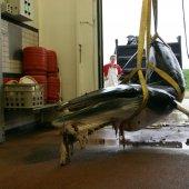 Dwergvinvis op boeg van een schip