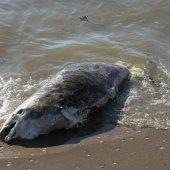 Melding levende bruinvis Katwijk bleek dode bruinvis te zijn