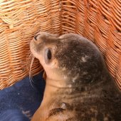 Jonge gewone zeehond Katwijk