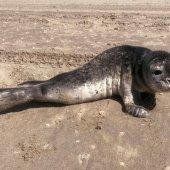 Jonge zeehond strand Noordwijk