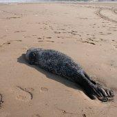 Dode zeehond Bloemendaal