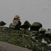 Zeehond binnenwatering Katwijk