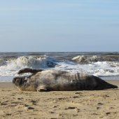 Jonge grijze zeehond Katwijk