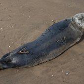 Grijze zeehond Noordwijk