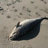 Dode bruinvis Langevelderslag Noordwijk
