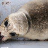 Zieke zeehond Bloemendaal
