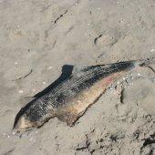 Dode bruinvis Noordwijk ( Langevelderslag )