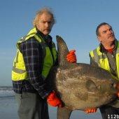 Zeldzame maanvis aangetroffen Katwijk