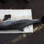 Levende bruinvis Noordwijk