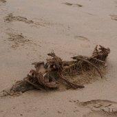 Dode zeehond  Bloemendaal ?