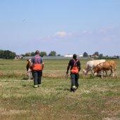 Koeien te water Oosthoutlaan Voorhout