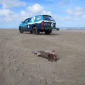 Opnieuw een dode bruinvis Wassenaar