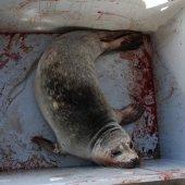 Zieke gewone zeehond Wassenaar