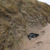 Opnieuw jonge grijze zeehond Noordwijk