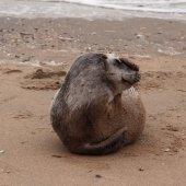 Jonge grijze zeehond Zandvoort